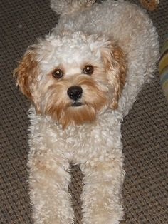 My Lily..She's a Cockapoo Vote for Lily at; Thanks!  http://www.pawnation.com/pet/profile/3063