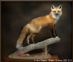 Image result for taxidermy fox