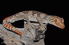 Spiny tail geckos | tumblr_msfa5gFS3E1qb8vfjo1_1280.jpg