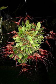 Bulbophyllum wendlandianum orchid