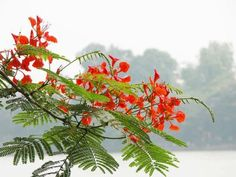 This is a relatively low growing tree that bears spectacular orange to scarlet flowers, hence its name of Flame Tree. It will however spread outwards, sometimes as wide as it is tall, so this isn't for small gardens. Tropical Flowers, Yellow Flowers, Colorful Flowers, Beautiful Flowers, Orange Roses, Flower Pictures, Nature Pictures, Delonix Regia, Landscape Photography