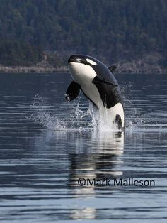 Transient orca breach - March 30, 2014