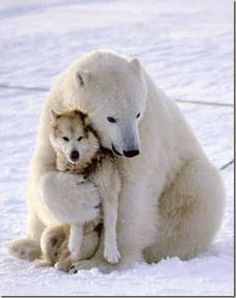 Polar bear and Husky --- Friends awwww