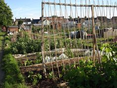 vegetable plant climbing trellis, klimrek voor (groente)planten