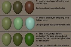 Possible breeding and color combinations for olive eggs.