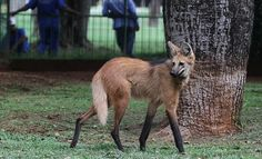 A lobo-guara, also known as a maned wolf