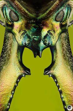 Daemon face (Chiasognathus grantii - Darwin beetle)   Luciano A. Richino . Photographer