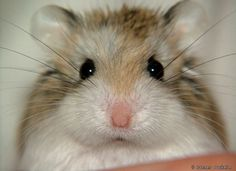 All about the Syrian hamster (a.a golden / teddy bear hamster), how to take care of them, plus lots of photos, tips and tricks. Dwarf Hamster Care, Robo Dwarf Hamsters, Robo Hamster, Funny Hamsters, Hamster House, Hamster Stuff, Winter White Hamster, Russian Hamster, Hamster Breeds