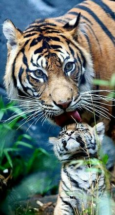 Mother Tiger and Her Baby.