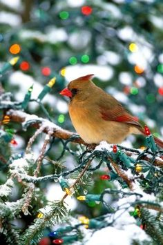 Female Cardinal,  has a personal meaning for me other than being The Ohio State Bird.