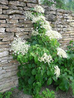 Hortensia grimpant pour habiller un mur ou un arbre (plante ombre, mi-ombre)