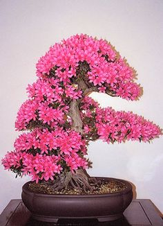 Satsuki Azalea Bonsai Tree | Bonsai Azálea Rosa - Cris Figueired♥