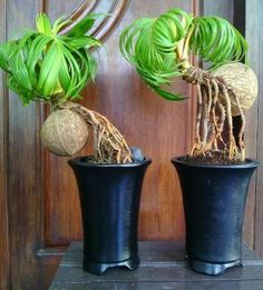 Bonsai Tree Care, Bonsai Art, Bonsai Plants, Bonsai Garden, Ikebana, Bonsai For Beginners, Ficus, Bonsai Forest, Moss Plant