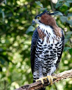 1.African Crowned Eagle: