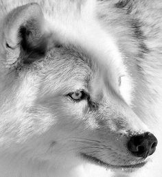 A close-up photograph of an Arctic Wolf (Canis lupus arctos), by photographer, Bill Maynard. Beautiful Wolves, Animals Beautiful, Bark At The Moon, Arctic Wolf, Wild Wolf, Big Bad Wolf, Wild Creatures, Forest Friends, Foxes