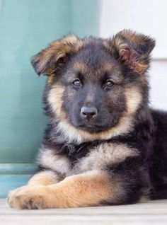 German Shepherd Puppy - what a cutie!