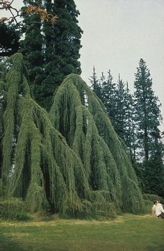 weeping - oh goodness this looks awesome ! Bush Garden, Garden Shrubs, Garden Trees, Landscaping With Rocks, Outdoor Landscaping, Trees And Shrubs, Trees To Plant, Weeping Blue Atlas Cedar, Weeping Trees