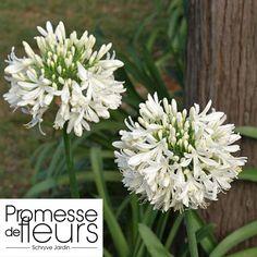 http://www.promessedefleurs.com/vivaces/vivaces-par-variete/agapanthes/agapanthe-ou-agapanthus-umbellatus-album-godet-de-9cm-p-2821.html Agapanthe ou agapanthus umbellatus album Godet de 9cm, et aussi à découvrir: http://www.promessedefleurs.com/ambiance/jardin-des-villes