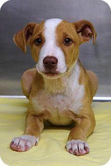 Dublin, CA - Pit Bull Terrier Mix. Meet Kirby, a puppy for adoption. http://www.adoptapet.com/pet/11648423-dublin-california-pit-bull-terrier-mix