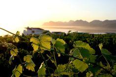Sunset Lush Green, Vineyard, Spaces, Sunset, Beautiful, Vine Yard, Sunsets, Vineyard Vines, The Sunset