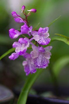 ウ チ ョ ウ ラ ン orchis à feuilles herbe comme (Ponerochis graminifolis)
