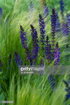 mixing sage with feather grass - Google Search