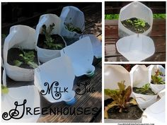 Milk Jug Greenhouses - Starting Seeds. Make sure to watch the tutorial video where you'll learn how to make these mini greenhouses and newspaper seed starting pots.