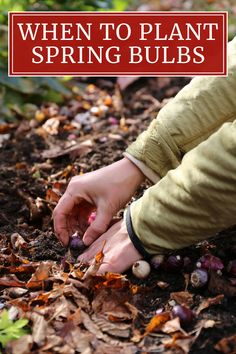 Crocus, daffodils, tulips, hyacinths, alliums and other spring-blooming bulbs are planted in the fall. This can happen anytime from late September through December, but it varies by location and the type of bulbs you are growing. Read on to to learn how to adjust planting times so your bulbs get off to the best possible start.