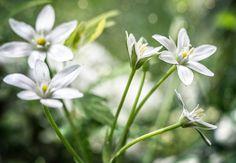 Птицемлечник - Птицемлечник зонтичный (Ornithogalum umbellatum) — наиболее распространенный вид в цветоводстве, его еще называют белые брандушки.