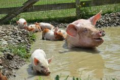 (Mom took the kids to the pool.)  Pigs only have sweat glands in their feet which is why they like water & mud to stay cool.