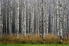 Tytuł zdjęcia: Biały lasek Autor: Krzysztof Mierzejewski