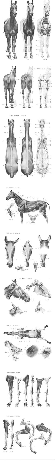The most complete, accurate and qualified horse anatomy reference seen in all my life, love it Horse Anatomy, Animal Anatomy, Horse Drawings, Animal Drawings, Drawing Animals, Horse Sketch, Horse Facts, Poses References, Anatomy Drawing