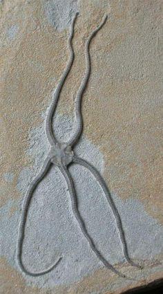 Palaeocoma egertoni (Beautiful Brittlestar)