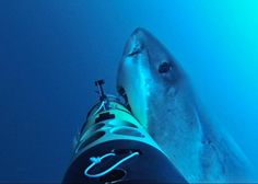 Robotic vehicles offer a new tool in study of shark behavior