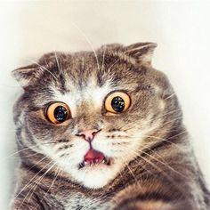 we love cats. Pretty Cats, Beautiful Cats, Cute Cats, Funny Cats, Funny Animals, Cute Animals, Shocked Cat, Cat Expressions, F2 Savannah Cat