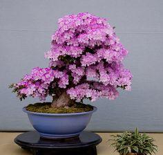 purple flowering bonsai - stunning