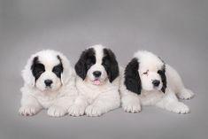 #landseer #puppies