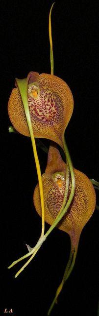 Masdevallia princeps orchid