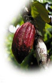 El árbol de cacao y las variedades de cacao