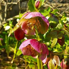 Another sign that #spring is on the way. Love #hellebores #DH #flowers