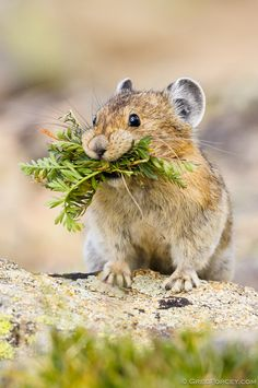 American Pika carrying food, Rocky Mountain National Park, Colorado