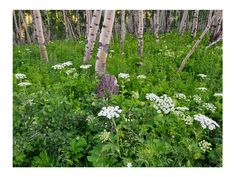 Aspens and Queen Anne's lace by Joseph Rossbach