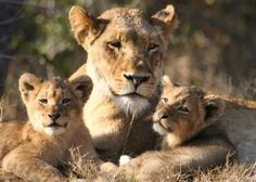 young cubs roar: Kay Burley meets leopards and locals in South Africa Lioness And Cub Tattoo, Lioness And Cubs, Beautiful Lion, Animals Beautiful, Oma Tattoos, Cute Baby Animals, Animals And Pets, Lion Family, Gato Grande
