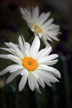 Daisy....another one of my favorite flowers...:)