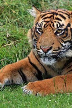 Bengal Tiger Laying in Green Grass at Daytime