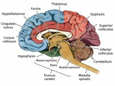 Human Brain Pictures with Labels . 25 Human Brain Pictures with Labels . 13 Facts About the Human Brain You Didn't Know Brain Parts And Functions, Brain Anatomy And Function, Human Brain Anatomy, Anatomy And Physiology, Anatomy Organs, Anatomy Bones, Human Brain Parts, Human Brain Diagram, Human Body