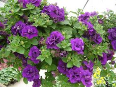 Dr. Dan's Garden Tips: Passionate About Petunias