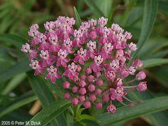 Asclepias incarnata (Swamp Milkweed): Minnesota Wildflowers