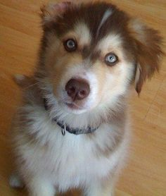 I want youuuuu!!! Goberian, Golden Retriever Siberian Husky Hybrid, Goberians #goldenretriever