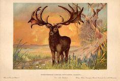 1900 BOELSCHE/HARDER CHROMOLITHOGRAPH Irish Elk, or Giant Deer #Realism